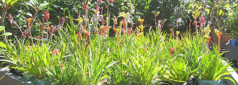Native Gardens Brisbane Brisbane Native Gardens