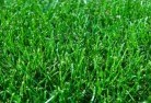 Sir Walter Buffalo Lawn Turf