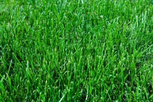 Sir Walter Buffalo Lawn Turf thumb